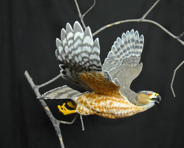 The Creation of Amazing Grace: Flying Cooper's Hawk